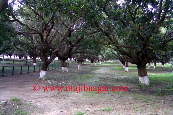 mujibnagar-mango-groveCA288C3C-A2F6-590C-4B22-A8CF57A02070.jpg