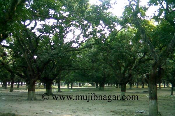 mujibnagar-mango-grove_2AC25ABCE-10D6-27AA-19C5-48220ED87794.jpg